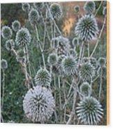 Seed Head Of Leek Flower Allium Sphaerocephalon Wood Print