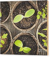 Seedlings Growing In Peat Moss Pots Wood Print