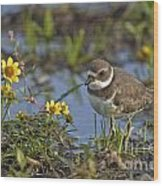Semi-palmated Plover Pictures 44 Wood Print