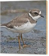 Semi-palmated Plover Pictures 59 Wood Print