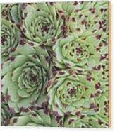 Sempervivum Calacreum Wood Print by Science Photo Library
