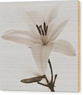 Sepia Lily In Snow Wood Print