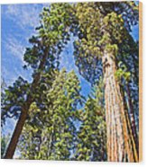 Sequoias Reaching To The Clouds In Mariposa Grove In Yosemite National Park-california Wood Print