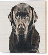 Serious Chocolate Labrador Wood Print
