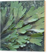 Serrated Or Toothed Wrack Wood Print