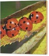 Seven-spot Ladybirds On A Leaf Wood Print