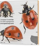 Seven-spotted Lady Beetle Wood Print