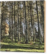 Shadows Of The Larch Forest Sunset No2 Wood Print