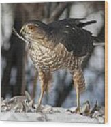Sharp-shinned Hawk And Feather Wood Print