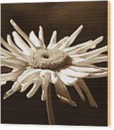 Shasta Daisy Flower Sepia Wood Print