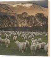 Sheep Flock At Dawn Arrowtown Otago New Wood Print