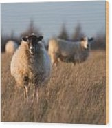 Sheep In A Field Wood Print