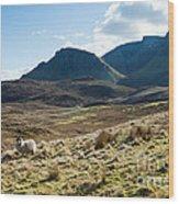 Sheep On Grassland Highlands Scotland Uk Wood Print