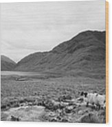 sheep on rough ground Doulough County Mayo Wood Print