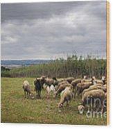 Sheep Pasturing Wood Print