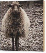 Sheep Stare Wood Print