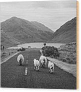 sheep walking away from camera down the middle of the road Doulough mayo ireland Wood Print