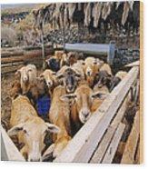Sheeps Enclosure Wood Print