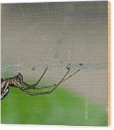 Sheet Web Weaver Spider Wood Print