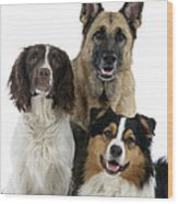 Shepherds With English Springer Spaniel Wood Print