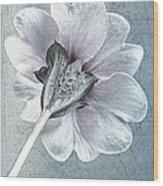 Sheradised Primula Wood Print