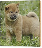 Shiba Inu Puppy Dog Wood Print