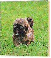 Shih Tzu Puppy Wood Print