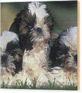 Shih Tzu Puppy Dogs Wood Print
