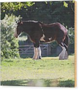Shire Horse  Wood Print by Stephen Norris