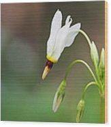 Shooting Star Wildflower Wood Print
