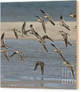 Short-billed Dowitchers Flying Wood Print