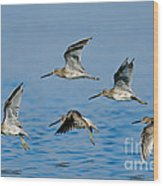 Short-billed Dowitchers In Flight Wood Print