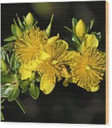 Shrubby St Johnswort Dsmf094 Wood Print