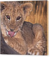 Shy African Lion Cub Wildlife Rescue Wood Print