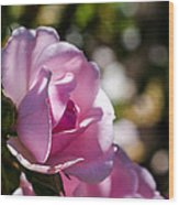 Shy Pink Rose Bud Wood Print