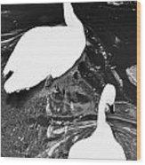 Shy Swans Wood Print