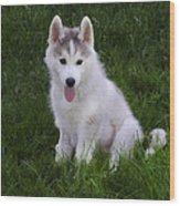 Siberian Huskie Pup Wood Print