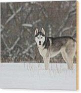 Siberian Husky 20 Wood Print