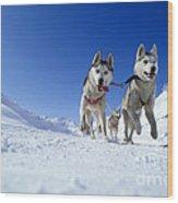 Siberian Husky Dogs Wood Print