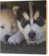 Siberian Husky Pups Wood Print by Benita Walker
