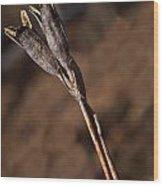 Siberian Iris Seed Pod 1 Wood Print