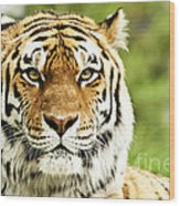 Siberian Tiger Beautiful Closeup Wood Print by Boon Mee
