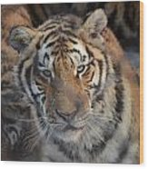 Siberian Tiger Wood Print by Brett Geyer