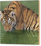Siberian Tiger Cub In Pond Endangered Species Wildlife Rescue Wood Print