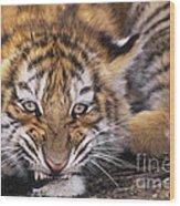 Siberian Tiger Cub Panthera Tigris Altaicia Wildlife Rescue Wood Print