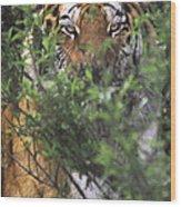 Siberian Tiger In Hiding Wildlife Rescue Wood Print