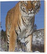 Siberian Tiger No. 1 Wood Print