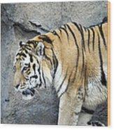 Siberian Tiger Panthera Tigris Altaica Usa Wood Print