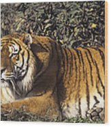 Siberian Tiger Stalking Endangered Species Wildlife Rescue Wood Print