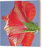 Side View Of Scarlet Red Hibiscus In Bright Light Wood Print